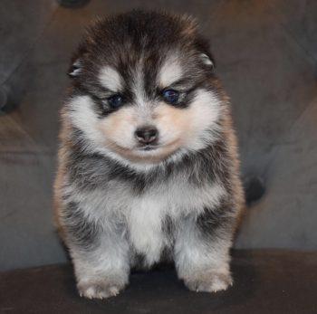 Pomsky Chowski & Japanese Shiba inu Puppies For Sale, Uk
